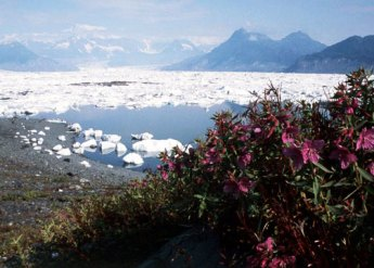 Dwarf fireweed colonizes the moraine as Columbia Glacier retreats in to the Chugach Mountains