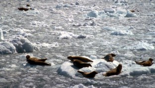 Harbor seals (Phoca Vitulina) are commonly spotted while touring PWS