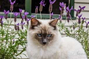 The Himalayan blue point stares cross-eyed against a background of purple flowers