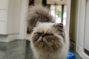 The persian cat closing it's eyes and waging it's tail