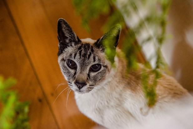 The siamese cat stares at the camera through pot plants