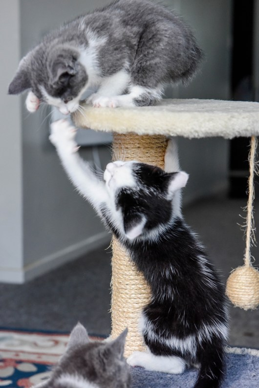 The manx kitten sits on the straw stool while it wrestles another kitten