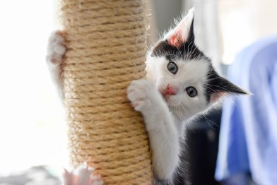 Kitten climbing straw chair