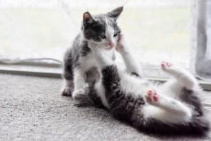2 Manx kittens wrestling
