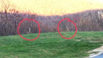 wintergreen-deer-in-woods
