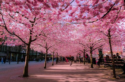 Stockholm Beauty Week.körsbärsträd