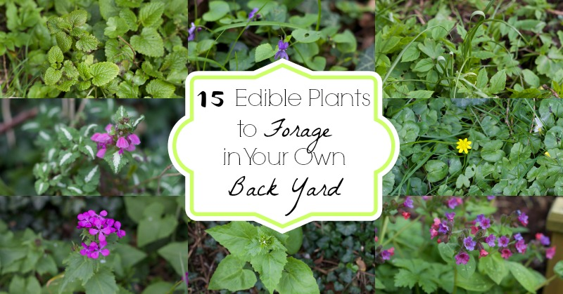 15 Edible Plants to Forage in Your Own Back Yard