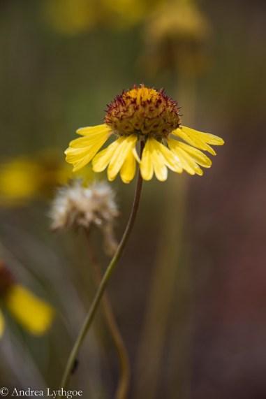 Desert Flowers-3
