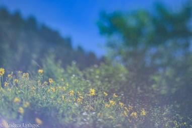 LensBabyAlbionWildflowers-10