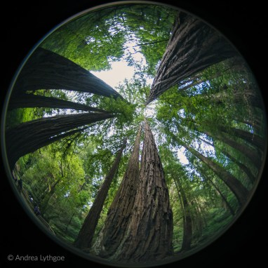 Muir Woods Fisheye-2