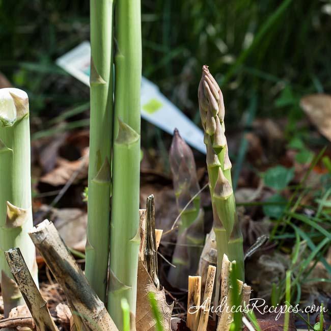 Andrea Meyers - Backyard Asparagus