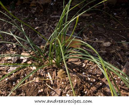 Saffron crocuses, March 2008