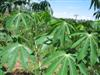 From Our Home to Yours - Cassava or Yucca