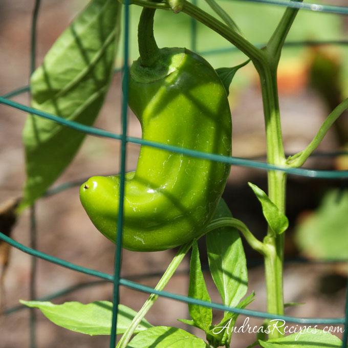 Andrea's Recipes - Yellow Corno di Toro pepper, not yet ripe