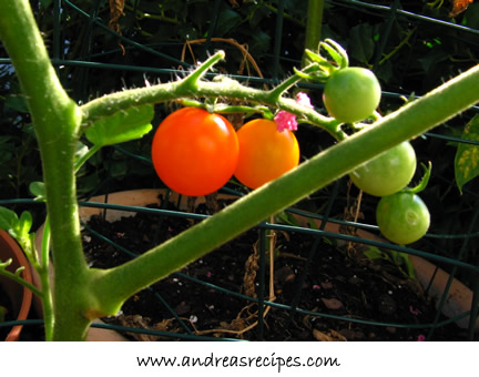 The First Fruits of Summer - Ripe Tomatoes