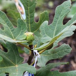 Fig Tree - Andrea Meyers
