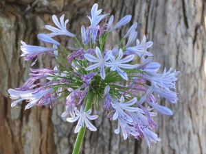 The agapanthus have done so well this year thanks to lots of mature compost and bark mulch
