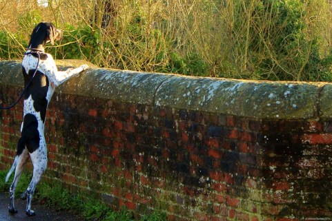This dog was keen to see what was going on, looking out at the water from the bridge.