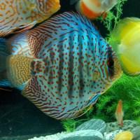 discus fish video - Discus Fish Care   Breeding,Feeding,Diseases & More!!!