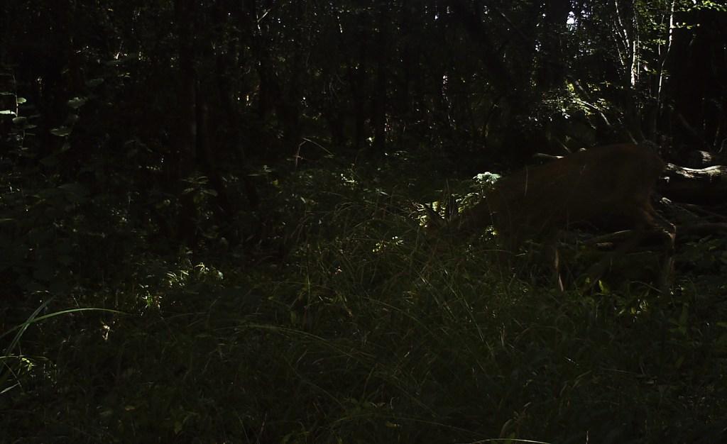 Fauna, Roe Deer, September 2016