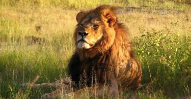 cecil the lion delta united bans wildlife trophies