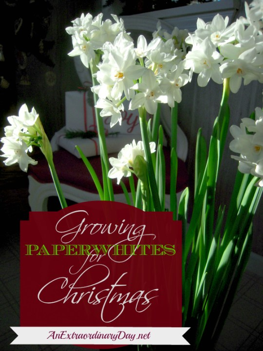 Forcing Paperwhites for the Holidays - DIY project