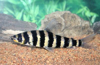 Leporinus, Leporinus fasciatus, Black Banded Leporinus Fish Guide