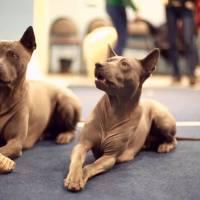 Цікавий трюк для собаки перехрещувати передні лапи.