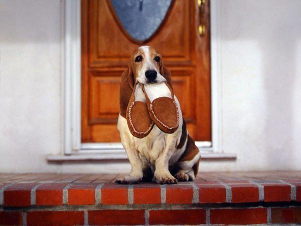 Як навчити собаку правильно зустрічати гостей
