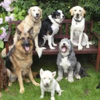 Як правильно вирохувати вік собаки?