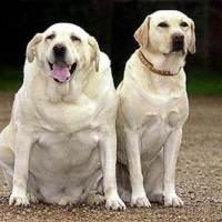 Проблеми ожиріння у собак та Підтримка гарної фізичної форми під час карантину