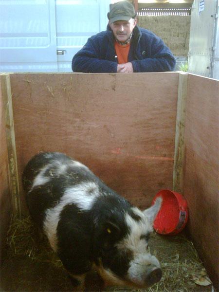 Henry the Kune Kune pig going to America