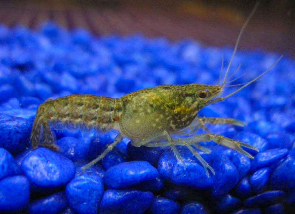 marbled-self-cloning-crayfish