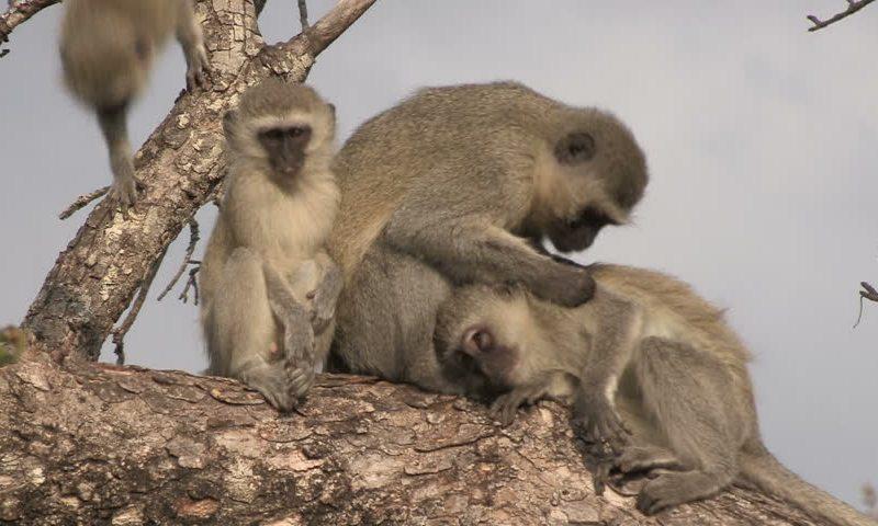 drunk-Vervet-monkeys