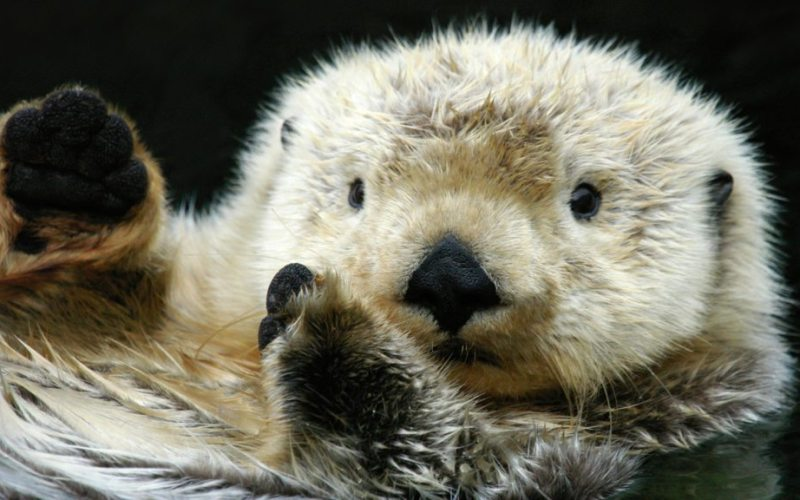 sea-otter-closeup