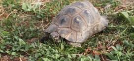 Curiosidades de las tortugas terrestres