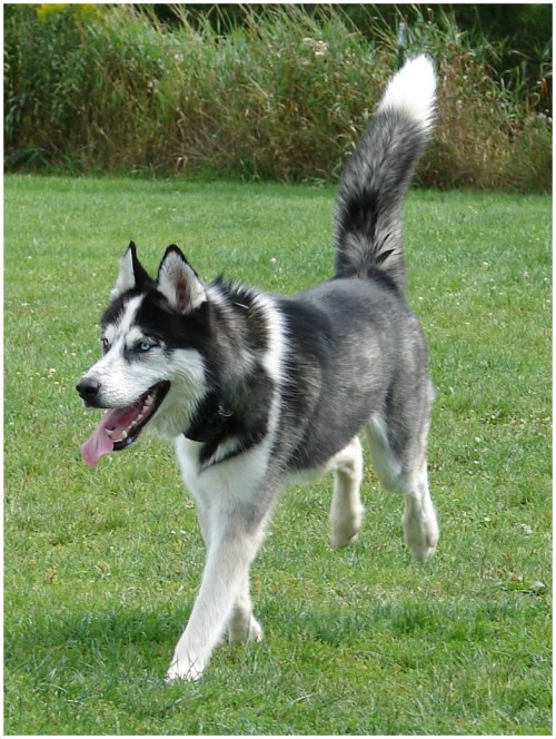 Medium Of Do Huskies Shed