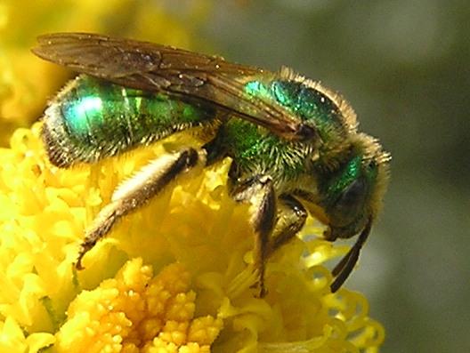 النحل الاخضر