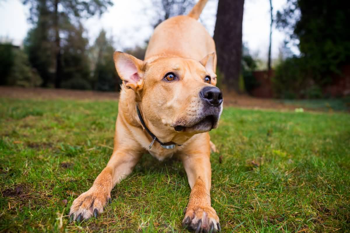 Beautiful Why Is Pitbull Lab Mix Such A Animalso Pitbull Lab Mix Known As Labrabull Or Is One Most Loyal Dog Breeds I Can Think Not Only Are Se Dogsfull bark post Do Pitbulls Shed