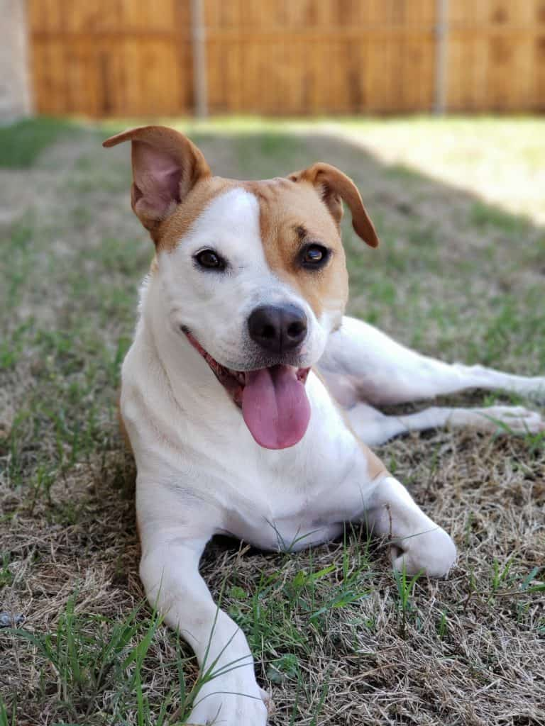 Upscale Rat Terrier Chihuahua Rat Terrier Laying On Grass What To Expect From Unexpected Chihuahua Terrier Mix Animalso Chihuahua Pitbull Mix Dog Chihuahua Pitbull Mix Reddit bark post Chihuahua Pitbull Mix
