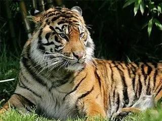 Sumatran tiger pictures