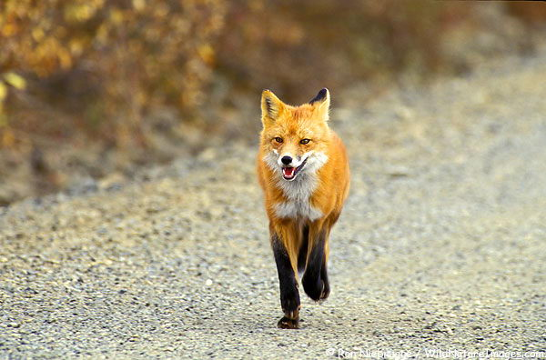 What Do Foxes Eat | What Do Red Foxes Eat