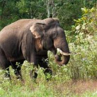 Indian Elephant Facts For Kids | Indian Elephant Diet & Habitat
