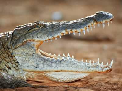 crocodile pictures