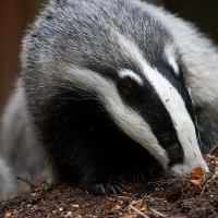 Badger Facts For Kids | Top 11 Facts