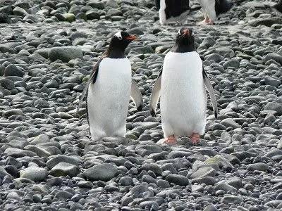gentoo penguin pictures