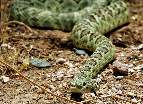 Rattle Snake Facts
