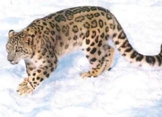 Endangered Snow leopard - Snow leopards facts
