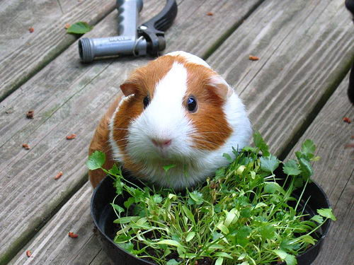 What Can Guinea Pigs Eat | What Can't Guinea Pigs Eat