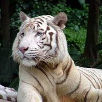 Where Do White Tigers Live | White Tigers Habitat